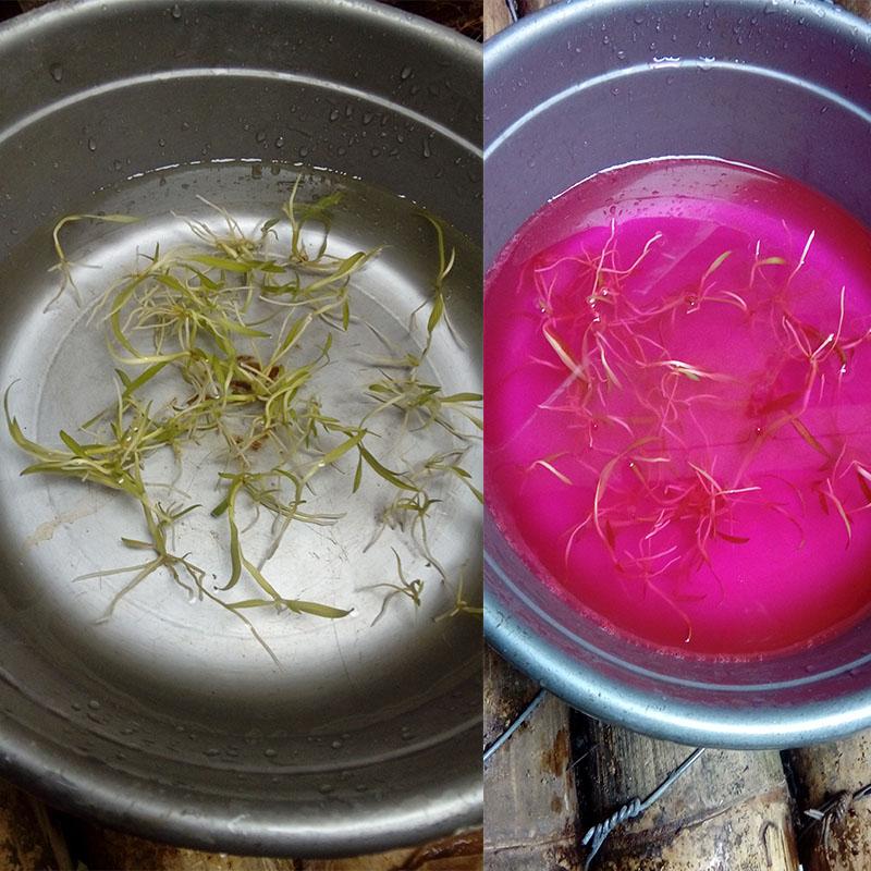 Anggrek-botol-dendrobium-fungisida